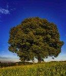 Resistenza della quercia